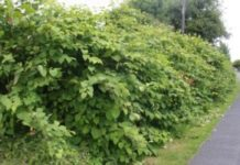 Figure 7. Japanese Knotweed has become quite widespread throughout the country in recent years. Biodiversity Maps is allowing stakeholders to inform policy and decision-making from the local to the national level in response to the threat posed by invasive species.