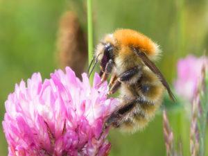 Large Carder bumblebee (Image credit: Leon van der Noll)