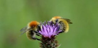 The Large Carder Bee (Bombus muscorum) or Moss Carder Bee as it is also known has suffered a 23% population decline since 2012.