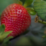 Come strawberry picking with robots-BBC News