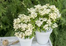 Hydrangea paniculata 'Breg14' (POLESTAR)