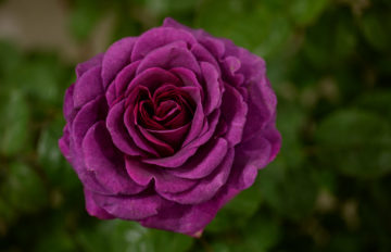 Rose 'Timeless Purple' from Whartons Roses.jpg 1