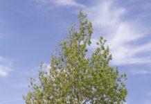 Quercus robur in Leaf
