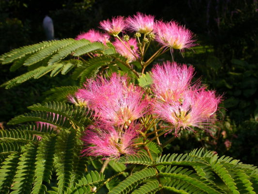 Albizia julibrissin 'Pos 1' (Tropical Dream)