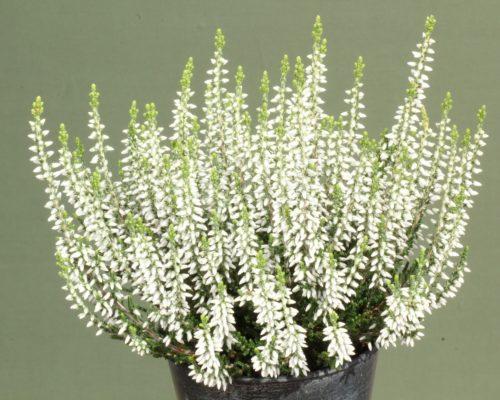 Calluna vulgaris 'Betty' (Gardengirls)
