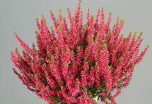 Calluna vulgaris 'Martina' (Gardengirls®)