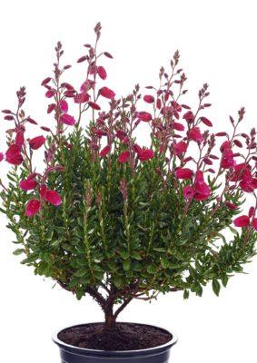 Daboecia cantabrica 'Tina' (Gardengirls)