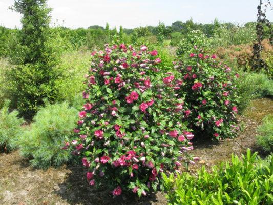 Hibiscus syriacus 'AartDevil1' (Red Devil)