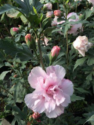 Hibiscus syriacus 'Verosa'