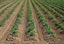Potato crops in field
