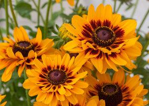 Rudbeckia hirta '2015-25' (Giggling SmileyZ) имеет двойные желтые цветы с коричневым сердцем.