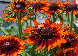 У Rudbeckia hirta '2015-55' (Happy SmileyZ) красивые вертикальные лепестки оранжево-красного цвета.