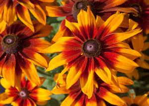 У Rudbeckia hirta 'Laughing SmileyZ' есть красивые, большие желто-красные цветы.