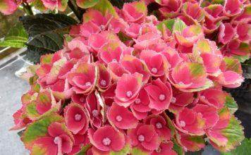 hydrangea-macrophylla-hokomareda-magical-red-amethyst