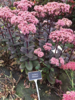 4. SEDUM 'MATRONA' – SPECIALLY BRED FOR AUTUMN FOLIAGE AND FLOWER AND AN IDEAL FILLER FOR THE BOUQUET MARKET.