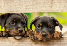 2 Blackbrown puppies fence (002)-603x400