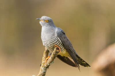 More commonly heard than seen, the Cuckoo usually arrives back to Ireland in April to breed. Source: James West (Flickr)