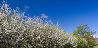 A flowering blackthorn hedge, one of the natural events the National Biodiversity Data Centre are hoping farmers will report each year. Source: Allan Drewitt