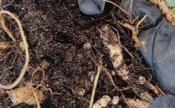 FIGURE 1: RHIZOSPHERE OF A LEGUME WITH NITROGEN FIXING BACTERIAL ROOT NODULES
