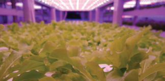 An image of crops growing indoors