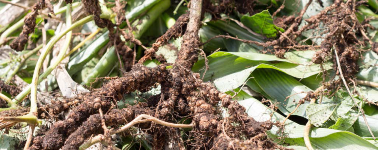 RHIZOBIUM IS ONE OF THREE NITROGEN-FIXING BACTERIA INCLUDED IN EU FERTILISER REGULATION THAT WILL COME INTO FORCE IN 2021