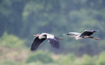 grey heron in flight, ardea cinerea