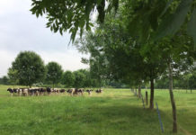 An image of livestock in a field