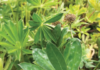 POWDERY MILDEW IS COMMONLY SEEN ON LUPINS AND MANY OTHER CROPS.