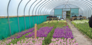 SCENTED STOCK TRIAL IN A POLYTHENE STRUCTURE.
