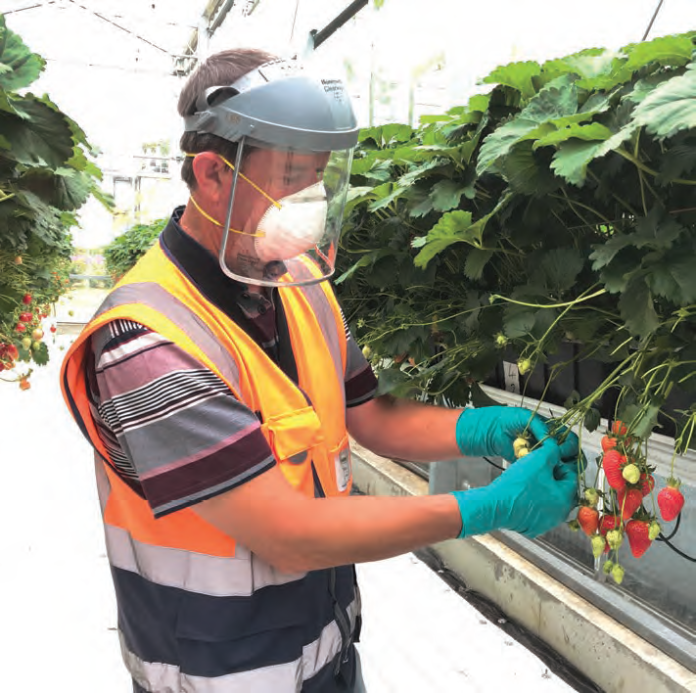 PPE FOR PICKING AND HANDING FRUIT FOR SAFE CONSUMPTION