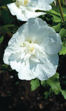 H. SYRIACUS 'NOTWOOD TWO' PBR/AGM (WHITE CHIFFON). PHOTO: PLANTS AND PICTURES