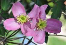 Clematis 'Veitch'; © Malcolm Ovens